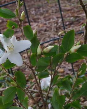 Camellia 'Wirlinga Bride'