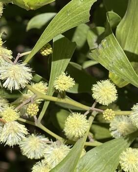 Acacia melanolxylon
