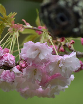 Prunus serrulata 'Light Pink'