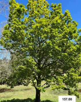 Quercus caneriensis x dentata