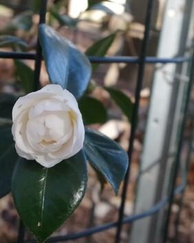 Camellia japonica 'Aspasia Macarthur'