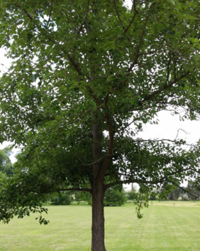 Populus yunnanensis