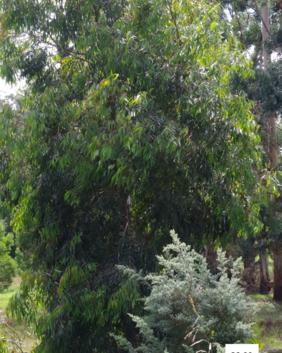 Angophora costata
