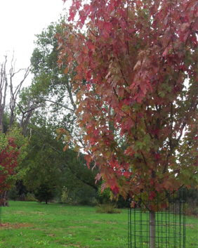 Acer rubrum 'Fairview Flame'