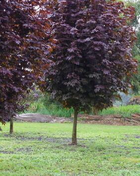 Acer platanoides 'Crimson Sentry'
