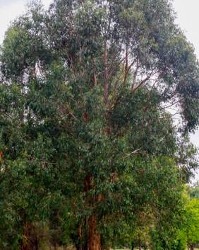 Eucalyptus strzeleckii