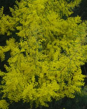 Acacia boormanni