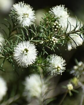 Melaleuca ericafolia