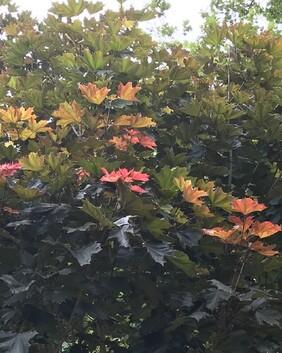 Acer pseudoplatanus purpurea