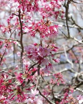 Prunus serrulata 'Okame'