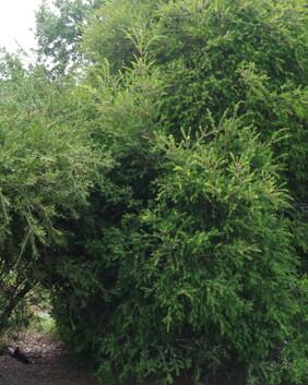 Melaleuca stypheloides