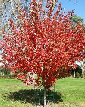 Acer × freemanii 'Jeffersred' Autumn Blaze