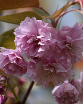 Prunus serrulata 'Deep Pink'