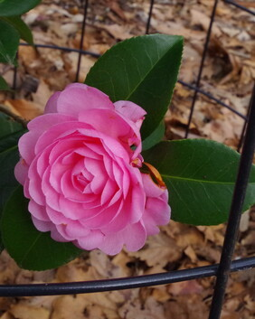 Camellia x williamsii 'E.G. Waterhouse'