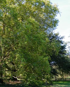 Platanus orientalis
