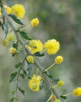 Acacia paradoxa (syn A. armata )