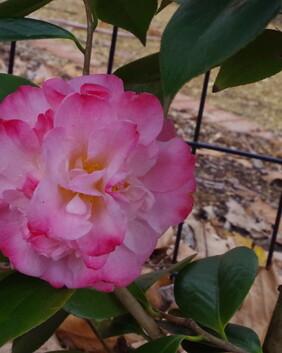 Camellia number 8