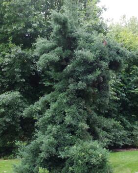 Afrocarpus falcata